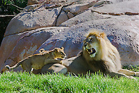 African Lions (Panthera leo).  Lion cub playfully attacks male.