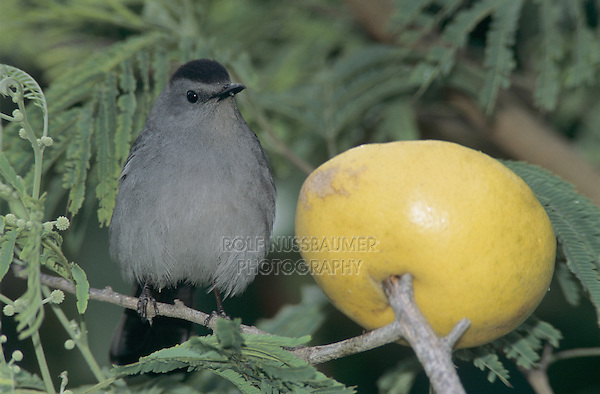 Gray Catbird, Dumetella carolinensis, adult with grapefruit, South Padre Island, Texas, USA