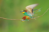 European Bee-eater (Merops apiaster), pair mating, Hungary, Europe