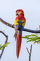 scarlet macaw, Ara macao, Corcovado National Park, Osa Peninsula, Costa Rica, Central America