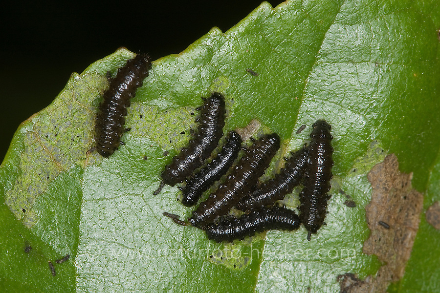 Blauer Erlenblattkäfer, Larven fressen an Erlenblatt, Erlen-Blattkäfer, Agelastica alni, alder leaf-beetle