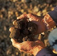 Europe/France/89/Bourgogne/Yonne/Env d'Auxerre/Nangis Quenne: Recherche des truffes de Bourgogne par François Beaucamp trufficulteur