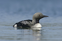 Black-throated Diver - Gavia arctica