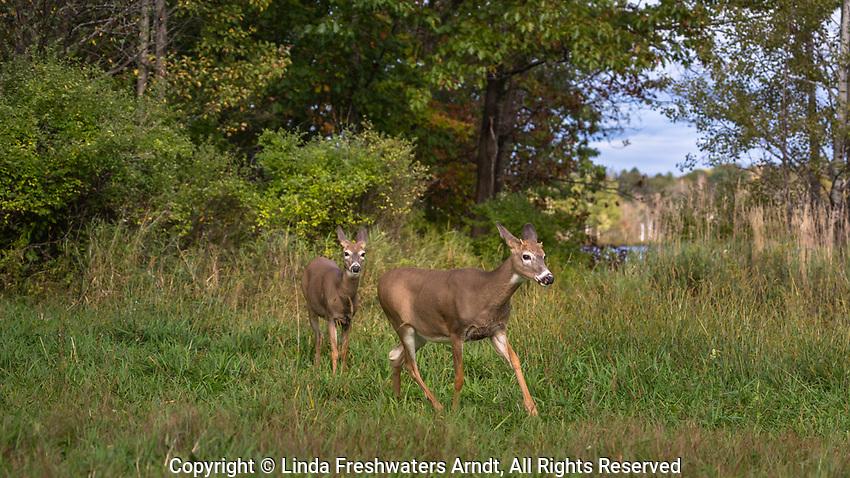 Buck and doe walking in a meadow in northern Wisconsin.