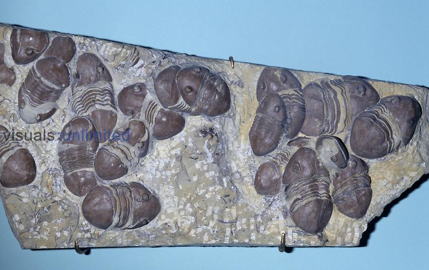 Trilobite Fossil (Homotelus bromidensis), Ordovician Period, 475 m.y.a., Oklahoma, USA.