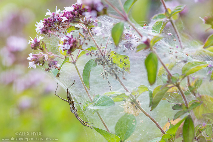 Nursery Web Spider {Pisaura mirabilis} mother on nursery web with newly emerged spiderlings. Peak District National Park, Derbyshire. UK. July.