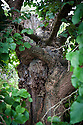 Main trunk of old mulberry tree, Great Dixter, East Sussex, mid August.