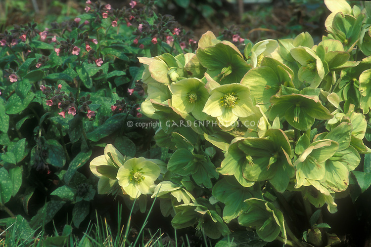 Helleborus x nigercors and Pulmonaria Dora Bielefeld with pink flowers blooming in planting combination