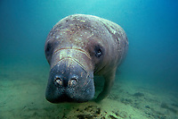 Florida manatee (Trichechus manatus latirostris, a subspecies of West Indian manatee, Trichechus manatus, Three Sisters Springs, Crystal River, Florida, USA