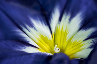 Close up of Convolvulus tricolor 'blue ensign', Oregon