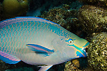 A Queen Parrotfish feeding on coral (Scarus vetula), terminal male or supermale phase, Bonaire, Caribbean.