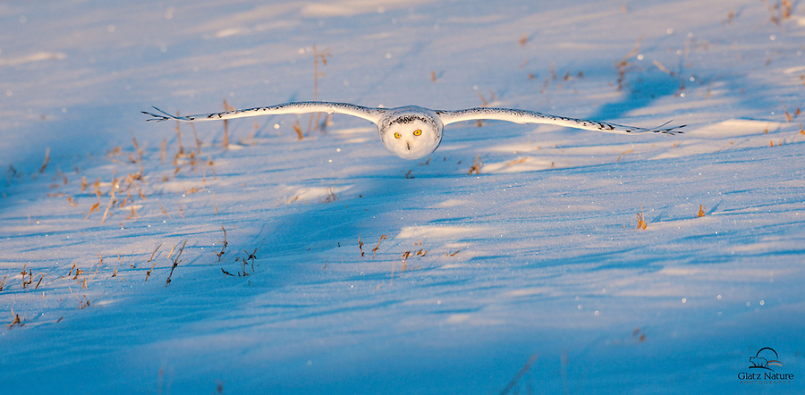 Snowy Owl (Bubo scandiacus) in gorgeous evening light heads straight for the photographers.  Alberta, Canada.