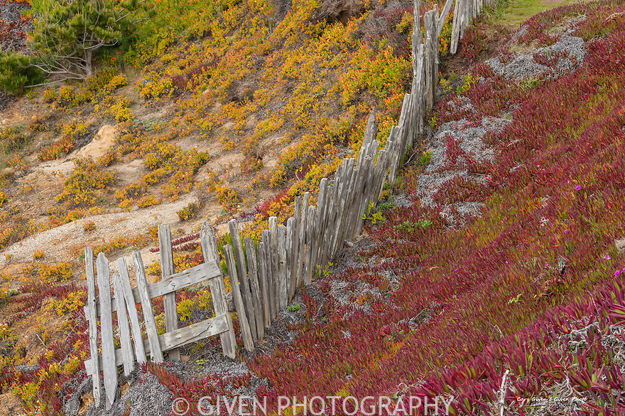 Old fence and ice plants, Mendocino Coast, CA