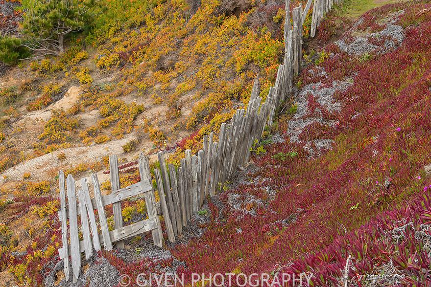 Old fence and ice plants, Sonoma Coast
