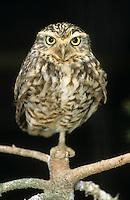 Kanincheneule, Kaninchen-Eule, Kaninchenkauz, Kaninchen-Kauz, Präriekauz, Prärieeule, Höhleneule, Athene cunicularia, Burrowing Owl