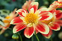 Dahlia 'Pooh', mid July. A Collerette Group dahlia registered in 1998 by Swan Island Dahlias, Canby, Oregon.