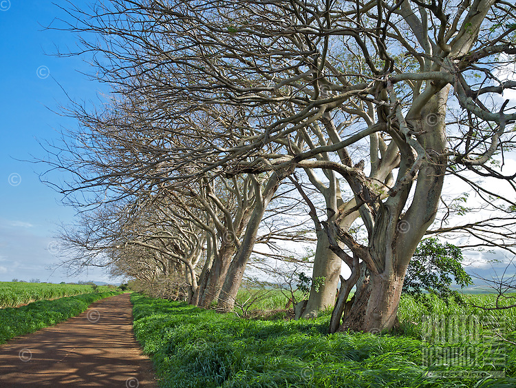 Barren monkeypod trees lining an old sugar cane road on Maui.