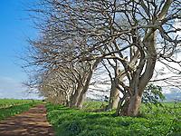 Barren monkeypod trees lining an old sugar cane road on Maui.