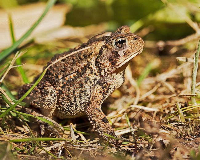 Profile of an American Toad in the sun.