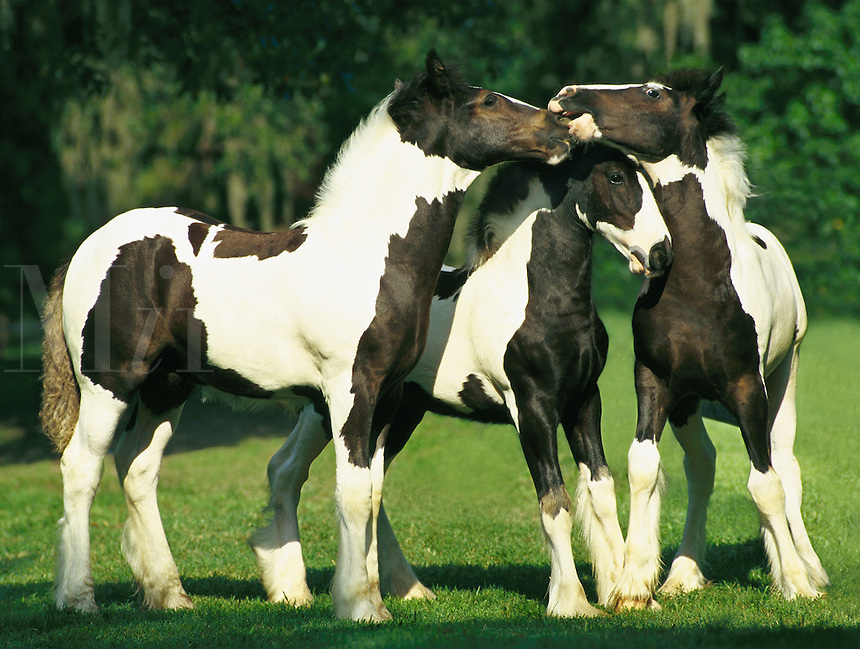 Three Gypsy Vanner foals play together horses, equine, draft horses, tinker horse, animals. #351 HR Gypsy Foals.