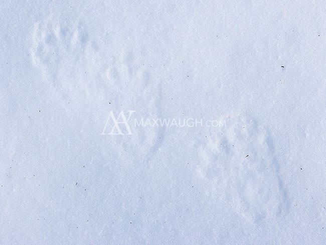 Pine marten tracks found near Old Faithful.