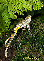 1219-1006  Frog Jumping, Eastern Gray Treefrog (Grey Tree Frog), Hyla versicolor  © David Kuhn/Dwight Kuhn Photography