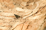 Emerald ash borer beetle, Agrilus planipennis, unsuccessful emergence