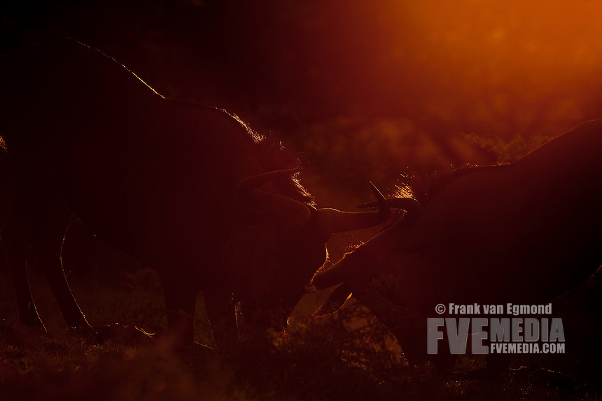 Blue Wildebeest (Connochaetes Taurinus)...Hluhluwe Imfolozi Game Reserve..Kwazulu-Natal, South Africa..November 2010.