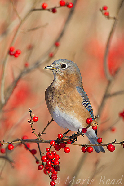 Eastern Bluebird (Sialia sialis) female perched in winterberry (Ilex sp.) in winter, New York, USA