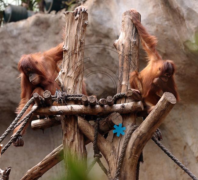 Pongoland Zoo Leipzig - MPI - im Bild: Oran-Utan - Kila+Maia (v.l.).  Foto: Norman Rembarz ..