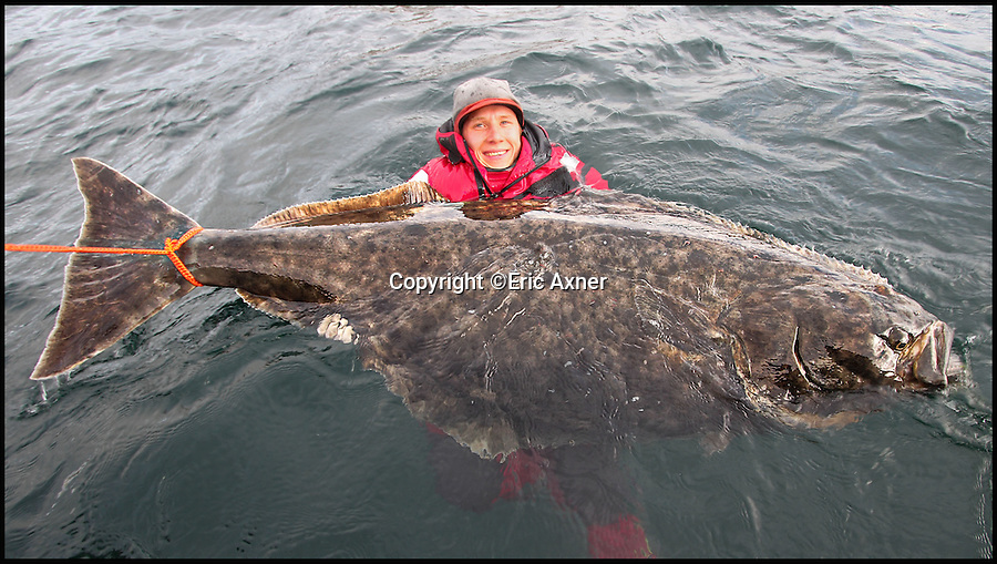 BNPS.co.uk (01202 558833)Pic: EricAxner/BNPS<br /> <br /> Angler Erik Axner celebrates hauling in this enormous 7ft halibut fish - by jumping in the water to pose for pictures with it.<br /> <br /> Erik was on a fishing trip with friends Jonathan Jansson and Martin Bamberg when he hooked the mammoth halibut, the world's biggest species of flatfish.<br /> <br /> The 24-year-old Swede fought the gigantic fish for over an hour before finally getting the better of it - and when he weighed it it tipped the scales at a whopping 16 stones.<br /> <br /> Because the halibut was so huge it couldn't be pulled out of the water for photos - so Erik secured the halibut to the side of the boat using rope  and jumped in in his drysuit instead.