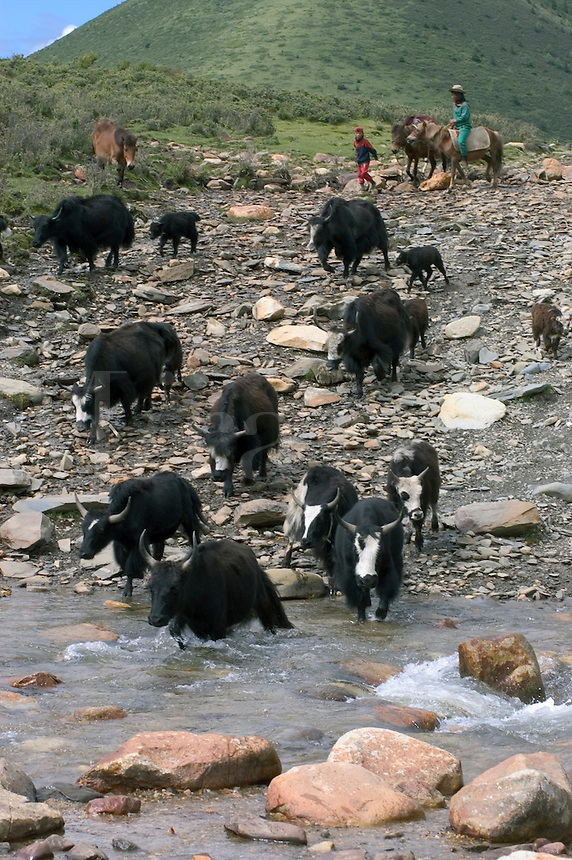 Drokpas (nomands) on horse back heard yaks accross a river in the highlands of Kham - Sichuan Province, China, (Tibet)