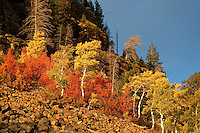 Vibrant late autumn foliage erupts from loose scree.  Uinta Mountains, Utah.