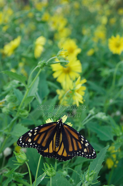 Monarch, Danaus plexippus, adult on Golden Crownbeard (Verbesina encelioides), Willacy County, Rio Grande Valley, Texas, USA