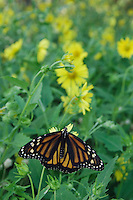 Monarch, Danaus plexippus, adult on Golden Crownbeard (Verbesina encelioides), Willacy County, Rio Grande Valley, Texas, USA