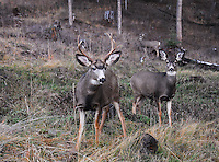 Mule deer buck with is doe during the rut in the Kootenai National Forest in winter.