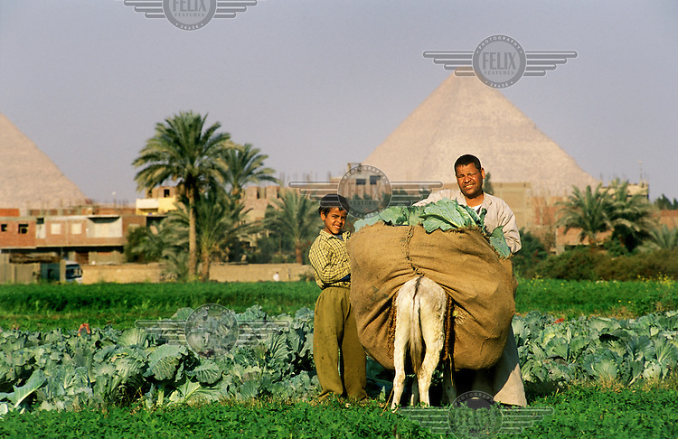Felaheen (peasant) father and child at work in fields with the pyramids of Giza rising behind..
