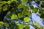 Backlit leaves on an American Beech tree in Massachusetts