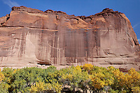 The White House Ruins in Canyon de Chelly, Arizona sit in the massive red-rock cliff face.  Cottonwood trees are turning yellow and gold in the autumn on the canyon floor.