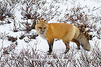 01871-02814 Red Fox (Vulpes vulpes) in snow in winter, Churchill Wildlife Management Area, Churchill, MB Canada