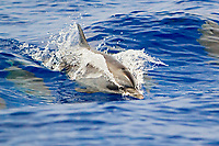 Pantropical Spotted Dolphins, juvenile, Stenella attenuata, wake-riding, off Kona Coast, Big Island, Hawaii, Pacific Ocean