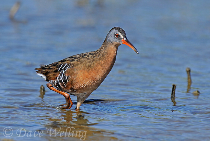 575100002 a wild adult virginia rail railus limicola forages in a shallow pond near the pacific ocean in ventura county california united states