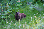 Grizzly bear; Ursus arctos