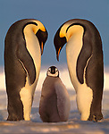 Emperor Penguins and chick, Antarctica<br />