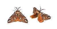 Kentish Glory - Endromis versicolora<br /> male<br /> 67.001 BF1644