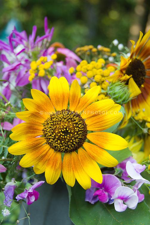Helianthus sunflowers cut flowers vase, sweet peas Lathyrus, bicolored blooms with Echinacea purpurea coneflowers in summer casual arrangement