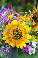 Helianthus sunflowers cut flowers vase, sweet peas Lathyrus, bicolored blooms with Echinacea purpurea coneflowers in summer casual arrangement