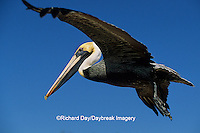 00672-00220 Brown Pelican (Pelecanus occidentalis) in flight    FL