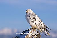 00817-00116 Gyrfalcon (Falco rusticolus) white phase