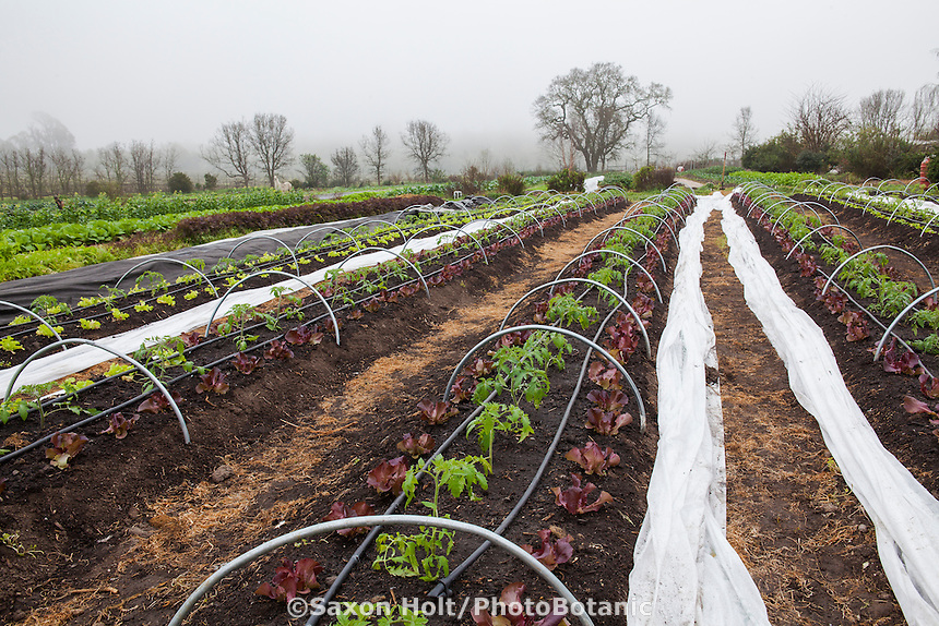 Tomatoes and Lettuces planted together in no-till farm row with hoops for overnight warming, Singing Frogs Farm, CSA, Sebastopol, California